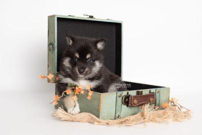 puppy234 week5 BowTiePomsky.com Bowtie Pomsky Puppy For Sale Husky Pomeranian Mini Dog Spokane WA Breeder Blue Eyes Pomskies Celebrity Puppy web3