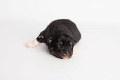 puppy235 week1 BowTiePomsky.com Bowtie Pomsky Puppy For Sale Husky Pomeranian Mini Dog Spokane WA Breeder Blue Eyes Pomskies Celebrity Puppy web2