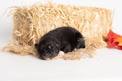 puppy235 week1 BowTiePomsky.com Bowtie Pomsky Puppy For Sale Husky Pomeranian Mini Dog Spokane WA Breeder Blue Eyes Pomskies Celebrity Puppy web7