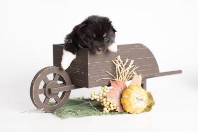 puppy235 week3 BowTiePomsky.com Bowtie Pomsky Puppy For Sale Husky Pomeranian Mini Dog Spokane WA Breeder Blue Eyes Pomskies Celebrity Puppy web1