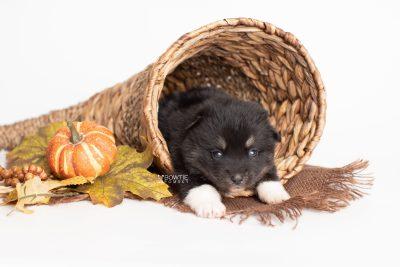 puppy235 week3 BowTiePomsky.com Bowtie Pomsky Puppy For Sale Husky Pomeranian Mini Dog Spokane WA Breeder Blue Eyes Pomskies Celebrity Puppy web2
