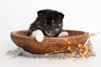 puppy235 week5 BowTiePomsky.com Bowtie Pomsky Puppy For Sale Husky Pomeranian Mini Dog Spokane WA Breeder Blue Eyes Pomskies Celebrity Puppy web2