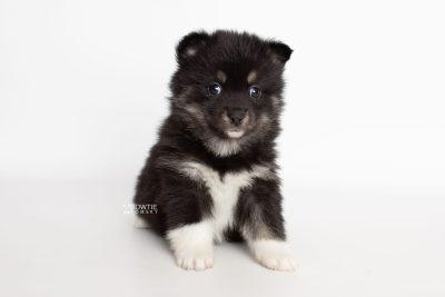 puppy235 week5 BowTiePomsky.com Bowtie Pomsky Puppy For Sale Husky Pomeranian Mini Dog Spokane WA Breeder Blue Eyes Pomskies Celebrity Puppy web6