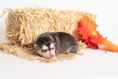 puppy238 week1 BowTiePomsky.com Bowtie Pomsky Puppy For Sale Husky Pomeranian Mini Dog Spokane WA Breeder Blue Eyes Pomskies Celebrity Puppy web7