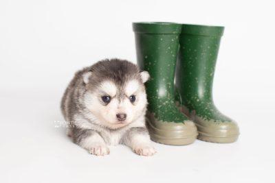 puppy238 week3 BowTiePomsky.com Bowtie Pomsky Puppy For Sale Husky Pomeranian Mini Dog Spokane WA Breeder Blue Eyes Pomskies Celebrity Puppy web4