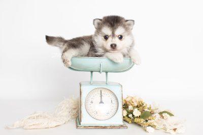 puppy238 week5 BowTiePomsky.com Bowtie Pomsky Puppy For Sale Husky Pomeranian Mini Dog Spokane WA Breeder Blue Eyes Pomskies Celebrity Puppy web1