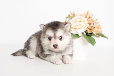 puppy238 week5 BowTiePomsky.com Bowtie Pomsky Puppy For Sale Husky Pomeranian Mini Dog Spokane WA Breeder Blue Eyes Pomskies Celebrity Puppy web5