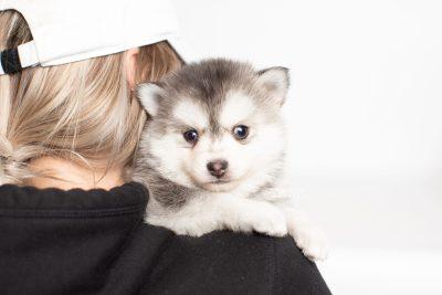 puppy238 week5 BowTiePomsky.com Bowtie Pomsky Puppy For Sale Husky Pomeranian Mini Dog Spokane WA Breeder Blue Eyes Pomskies Celebrity Puppy web8