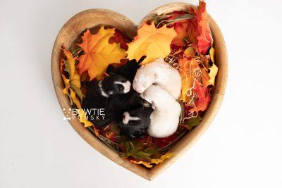 puppy239-243 week1 BowTiePomsky.com Bowtie Pomsky Puppy For Sale Husky Pomeranian Mini Dog Spokane WA Breeder Blue Eyes Pomskies Celebrity Puppy web2