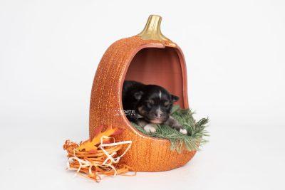puppy241 week1 BowTiePomsky.com Bowtie Pomsky Puppy For Sale Husky Pomeranian Mini Dog Spokane WA Breeder Blue Eyes Pomskies Celebrity Puppy web3