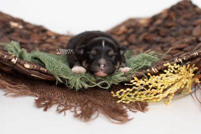 puppy241 week1 BowTiePomsky.com Bowtie Pomsky Puppy For Sale Husky Pomeranian Mini Dog Spokane WA Breeder Blue Eyes Pomskies Celebrity Puppy web4