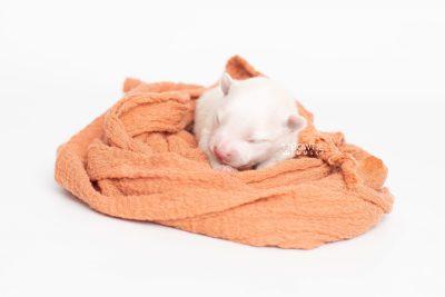 puppy242 week1 BowTiePomsky.com Bowtie Pomsky Puppy For Sale Husky Pomeranian Mini Dog Spokane WA Breeder Blue Eyes Pomskies Celebrity Puppy web6