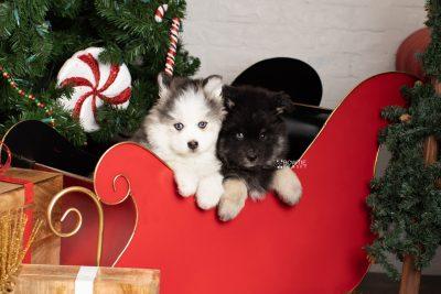 puppy212-213 week7 BowTiePomsky.com Bowtie Pomsky Puppy For Sale Husky Pomeranian Mini Dog Spokane WA Breeder Blue Eyes Pomskies Celebrity Puppy web2