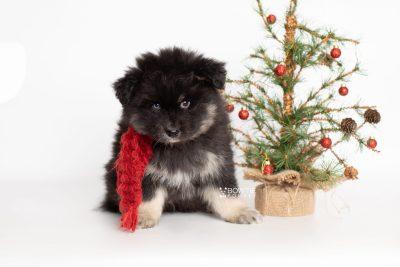 puppy213 week7 BowTiePomsky.com Bowtie Pomsky Puppy For Sale Husky Pomeranian Mini Dog Spokane WA Breeder Blue Eyes Pomskies Celebrity Puppy web2