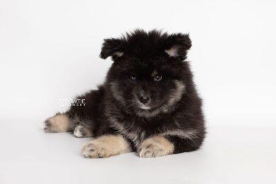 puppy213 week7 BowTiePomsky.com Bowtie Pomsky Puppy For Sale Husky Pomeranian Mini Dog Spokane WA Breeder Blue Eyes Pomskies Celebrity Puppy web6