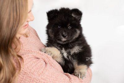 puppy213 week7 BowTiePomsky.com Bowtie Pomsky Puppy For Sale Husky Pomeranian Mini Dog Spokane WA Breeder Blue Eyes Pomskies Celebrity Puppy web7