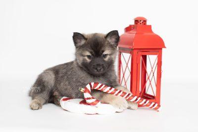 puppy214 week7 BowTiePomsky.com Bowtie Pomsky Puppy For Sale Husky Pomeranian Mini Dog Spokane WA Breeder Blue Eyes Pomskies Celebrity Puppy web1