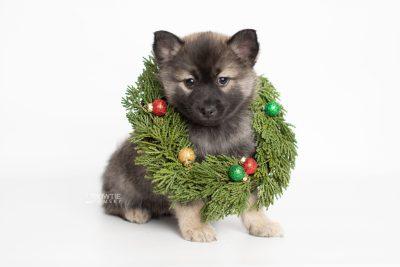 puppy214 week7 BowTiePomsky.com Bowtie Pomsky Puppy For Sale Husky Pomeranian Mini Dog Spokane WA Breeder Blue Eyes Pomskies Celebrity Puppy web4
