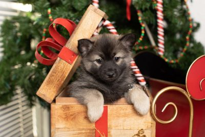 puppy214 week7 BowTiePomsky.com Bowtie Pomsky Puppy For Sale Husky Pomeranian Mini Dog Spokane WA Breeder Blue Eyes Pomskies Celebrity Puppy web7