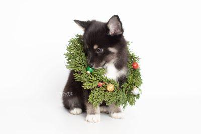 puppy217 week7 BowTiePomsky.com Bowtie Pomsky Puppy For Sale Husky Pomeranian Mini Dog Spokane WA Breeder Blue Eyes Pomskies Celebrity Puppy web4