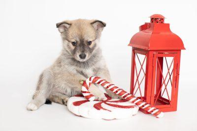 puppy218 week7 BowTiePomsky.com Bowtie Pomsky Puppy For Sale Husky Pomeranian Mini Dog Spokane WA Breeder Blue Eyes Pomskies Celebrity Puppy web1