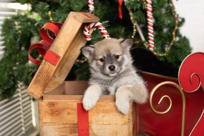 puppy218 week7 BowTiePomsky.com Bowtie Pomsky Puppy For Sale Husky Pomeranian Mini Dog Spokane WA Breeder Blue Eyes Pomskies Celebrity Puppy web8