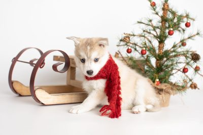 puppy219 week7 BowTiePomsky.com Bowtie Pomsky Puppy For Sale Husky Pomeranian Mini Dog Spokane WA Breeder Blue Eyes Pomskies Celebrity Puppy web2