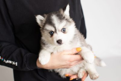 puppy220 week7 BowTiePomsky.com Bowtie Pomsky Puppy For Sale Husky Pomeranian Mini Dog Spokane WA Breeder Blue Eyes Pomskies Celebrity Puppy web7