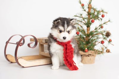 puppy221 week7 BowTiePomsky.com Bowtie Pomsky Puppy For Sale Husky Pomeranian Mini Dog Spokane WA Breeder Blue Eyes Pomskies Celebrity Puppy web2