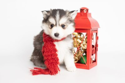puppy221 week7 BowTiePomsky.com Bowtie Pomsky Puppy For Sale Husky Pomeranian Mini Dog Spokane WA Breeder Blue Eyes Pomskies Celebrity Puppy web4
