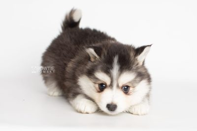 puppy221 week7 BowTiePomsky.com Bowtie Pomsky Puppy For Sale Husky Pomeranian Mini Dog Spokane WA Breeder Blue Eyes Pomskies Celebrity Puppy web6