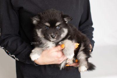 puppy222 week7 BowTiePomsky.com Bowtie Pomsky Puppy For Sale Husky Pomeranian Mini Dog Spokane WA Breeder Blue Eyes Pomskies Celebrity Puppy web8