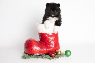 puppy225 week7 BowTiePomsky.com Bowtie Pomsky Puppy For Sale Husky Pomeranian Mini Dog Spokane WA Breeder Blue Eyes Pomskies Celebrity Puppy web1