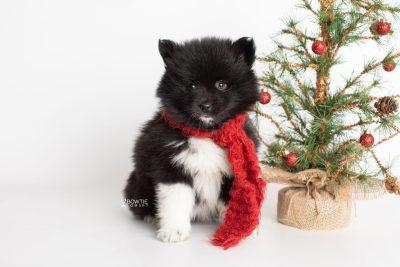 puppy225 week7 BowTiePomsky.com Bowtie Pomsky Puppy For Sale Husky Pomeranian Mini Dog Spokane WA Breeder Blue Eyes Pomskies Celebrity Puppy web4