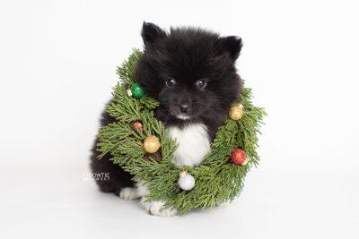 puppy225 week7 BowTiePomsky.com Bowtie Pomsky Puppy For Sale Husky Pomeranian Mini Dog Spokane WA Breeder Blue Eyes Pomskies Celebrity Puppy web6