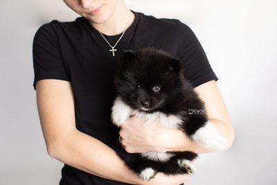 puppy225 week7 BowTiePomsky.com Bowtie Pomsky Puppy For Sale Husky Pomeranian Mini Dog Spokane WA Breeder Blue Eyes Pomskies Celebrity Puppy web8