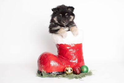 puppy226 week7 BowTiePomsky.com Bowtie Pomsky Puppy For Sale Husky Pomeranian Mini Dog Spokane WA Breeder Blue Eyes Pomskies Celebrity Puppy web1