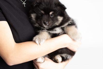 puppy226 week7 BowTiePomsky.com Bowtie Pomsky Puppy For Sale Husky Pomeranian Mini Dog Spokane WA Breeder Blue Eyes Pomskies Celebrity Puppy web7