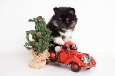 puppy227 week7 BowTiePomsky.com Bowtie Pomsky Puppy For Sale Husky Pomeranian Mini Dog Spokane WA Breeder Blue Eyes Pomskies Celebrity Puppy web5