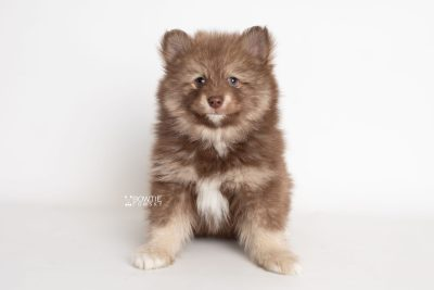puppy229 week7 BowTiePomsky.com Bowtie Pomsky Puppy For Sale Husky Pomeranian Mini Dog Spokane WA Breeder Blue Eyes Pomskies Celebrity Puppy web7