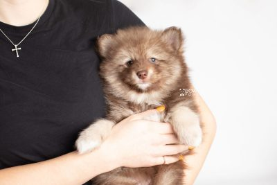 puppy229 week7 BowTiePomsky.com Bowtie Pomsky Puppy For Sale Husky Pomeranian Mini Dog Spokane WA Breeder Blue Eyes Pomskies Celebrity Puppy web8