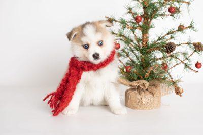 puppy230 week7 BowTiePomsky.com Bowtie Pomsky Puppy For Sale Husky Pomeranian Mini Dog Spokane WA Breeder Blue Eyes Pomskies Celebrity Puppy web3