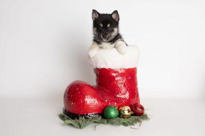 puppy234 week7 BowTiePomsky.com Bowtie Pomsky Puppy For Sale Husky Pomeranian Mini Dog Spokane WA Breeder Blue Eyes Pomskies Celebrity Puppy web2