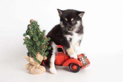 puppy234 week7 BowTiePomsky.com Bowtie Pomsky Puppy For Sale Husky Pomeranian Mini Dog Spokane WA Breeder Blue Eyes Pomskies Celebrity Puppy web6