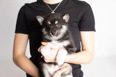 puppy234 week7 BowTiePomsky.com Bowtie Pomsky Puppy For Sale Husky Pomeranian Mini Dog Spokane WA Breeder Blue Eyes Pomskies Celebrity Puppy web9