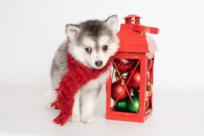 puppy238 week7 BowTiePomsky.com Bowtie Pomsky Puppy For Sale Husky Pomeranian Mini Dog Spokane WA Breeder Blue Eyes Pomskies Celebrity Puppy web2