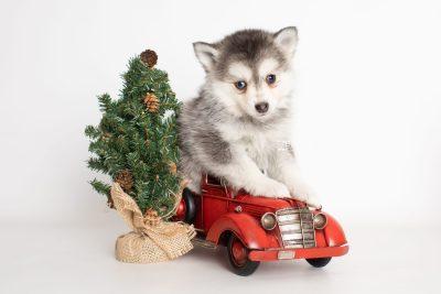 puppy238 week7 BowTiePomsky.com Bowtie Pomsky Puppy For Sale Husky Pomeranian Mini Dog Spokane WA Breeder Blue Eyes Pomskies Celebrity Puppy web5
