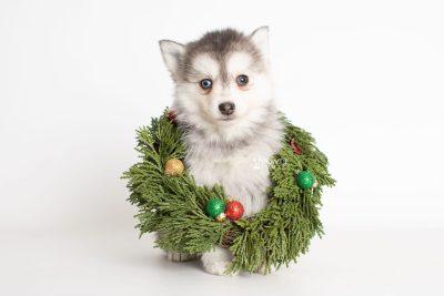 puppy238 week7 BowTiePomsky.com Bowtie Pomsky Puppy For Sale Husky Pomeranian Mini Dog Spokane WA Breeder Blue Eyes Pomskies Celebrity Puppy web6