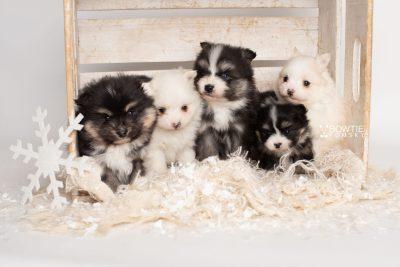 puppy239-243 week5 BowTiePomsky.com Bowtie Pomsky Puppy For Sale Husky Pomeranian Mini Dog Spokane WA Breeder Blue Eyes Pomskies Celebrity Puppy web