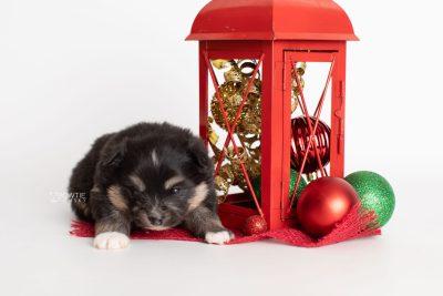 puppy241 week3 BowTiePomsky.com Bowtie Pomsky Puppy For Sale Husky Pomeranian Mini Dog Spokane WA Breeder Blue Eyes Pomskies Celebrity Puppy web1